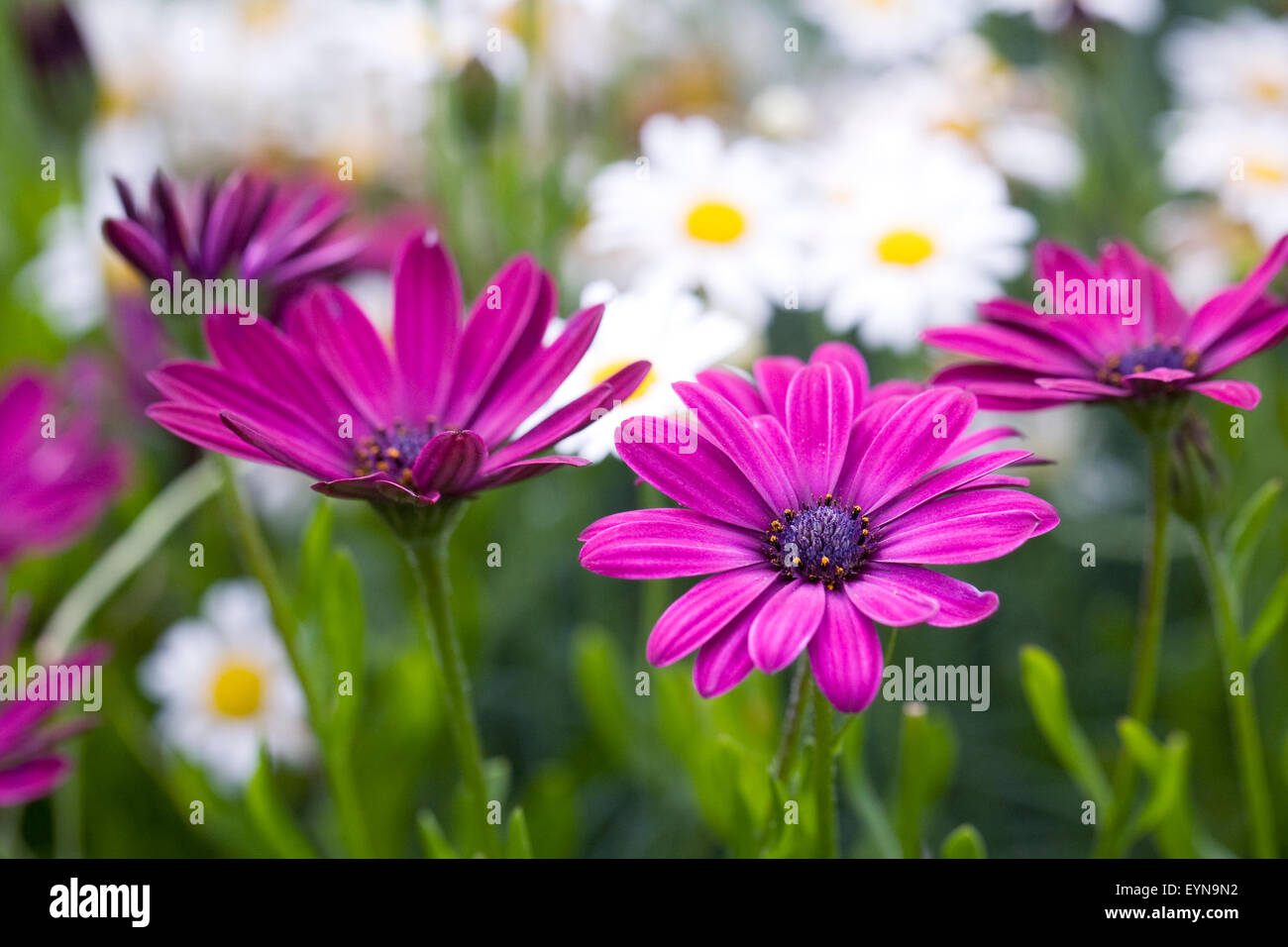 Magenta pink Osteospermum flowers in the garden. Cape daisy. African daisy. - Stock Image