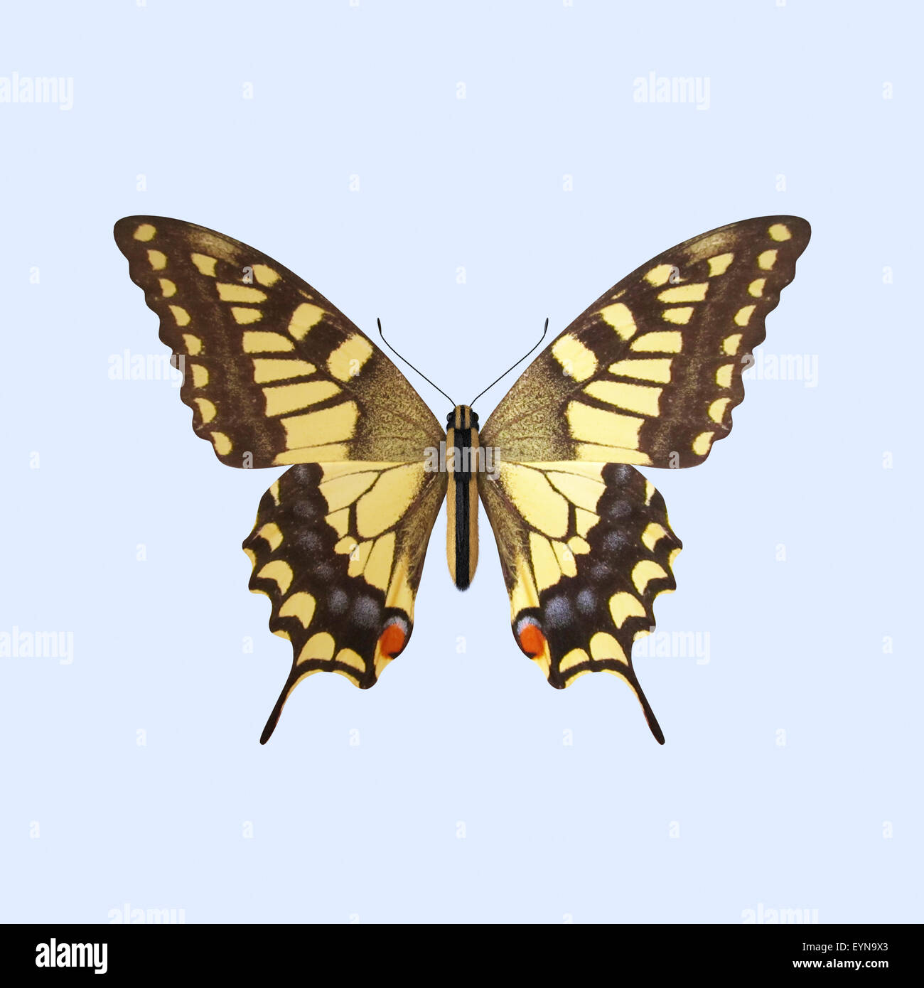 The Three-dimensional Swallowtail Butterfly, scientifically known as Papilio Machaon. Isolated on Background - Stock Image