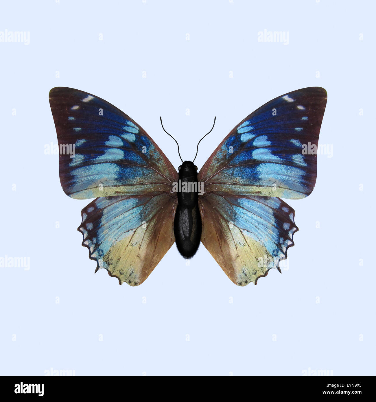 The Three-dimensional Blue Butterfly of the Nymphalidae Family, scientifically known as Charaxes Smaragdalis. Isolated - Stock Image