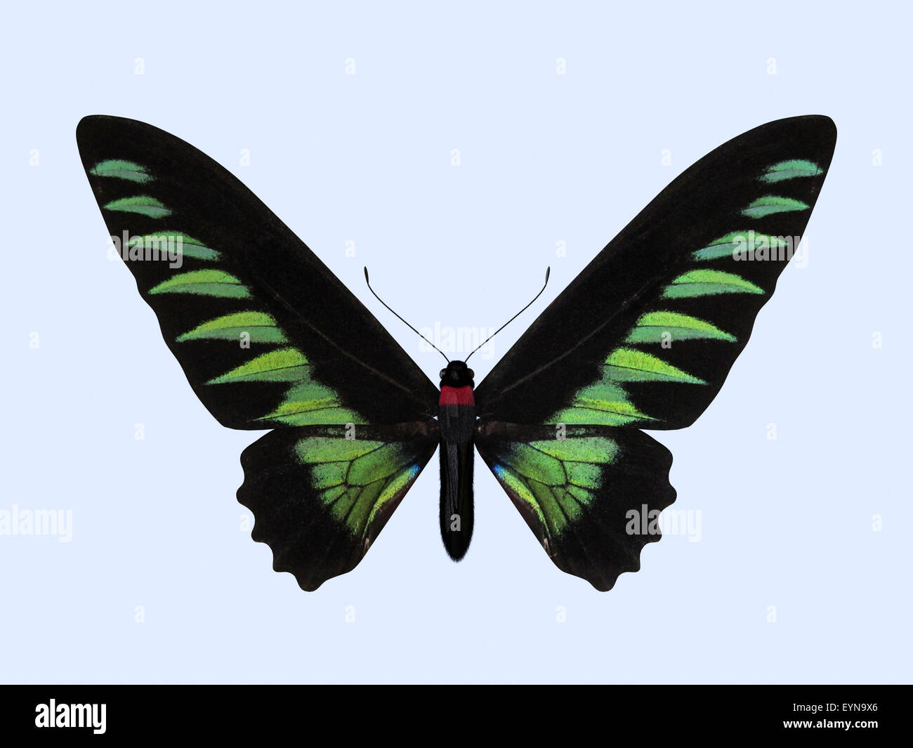 Rajah Brooke's Birdwing. The Three-dimensional Birdwing Butterfly, scientifically known as Trogonoptera Brookiana. - Stock Image