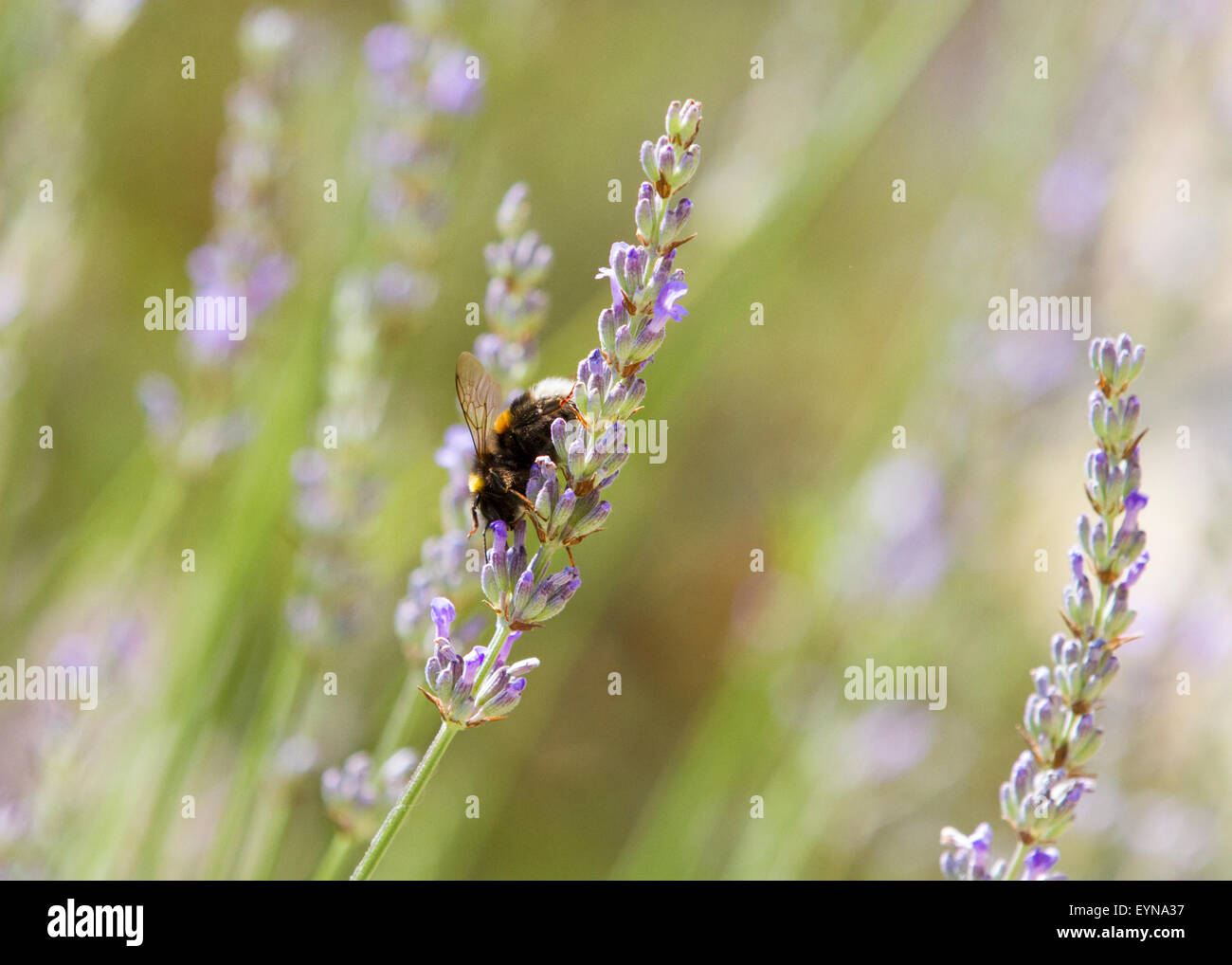 Bumble bee recovering pollen from lavender in a sunny Surrey garden - Stock Image