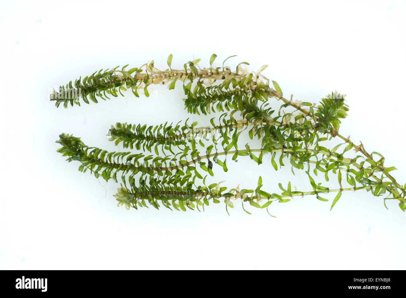 Kanadische Wasserpest, Elodea canadensis, Wasserpflanzen Stock Photo
