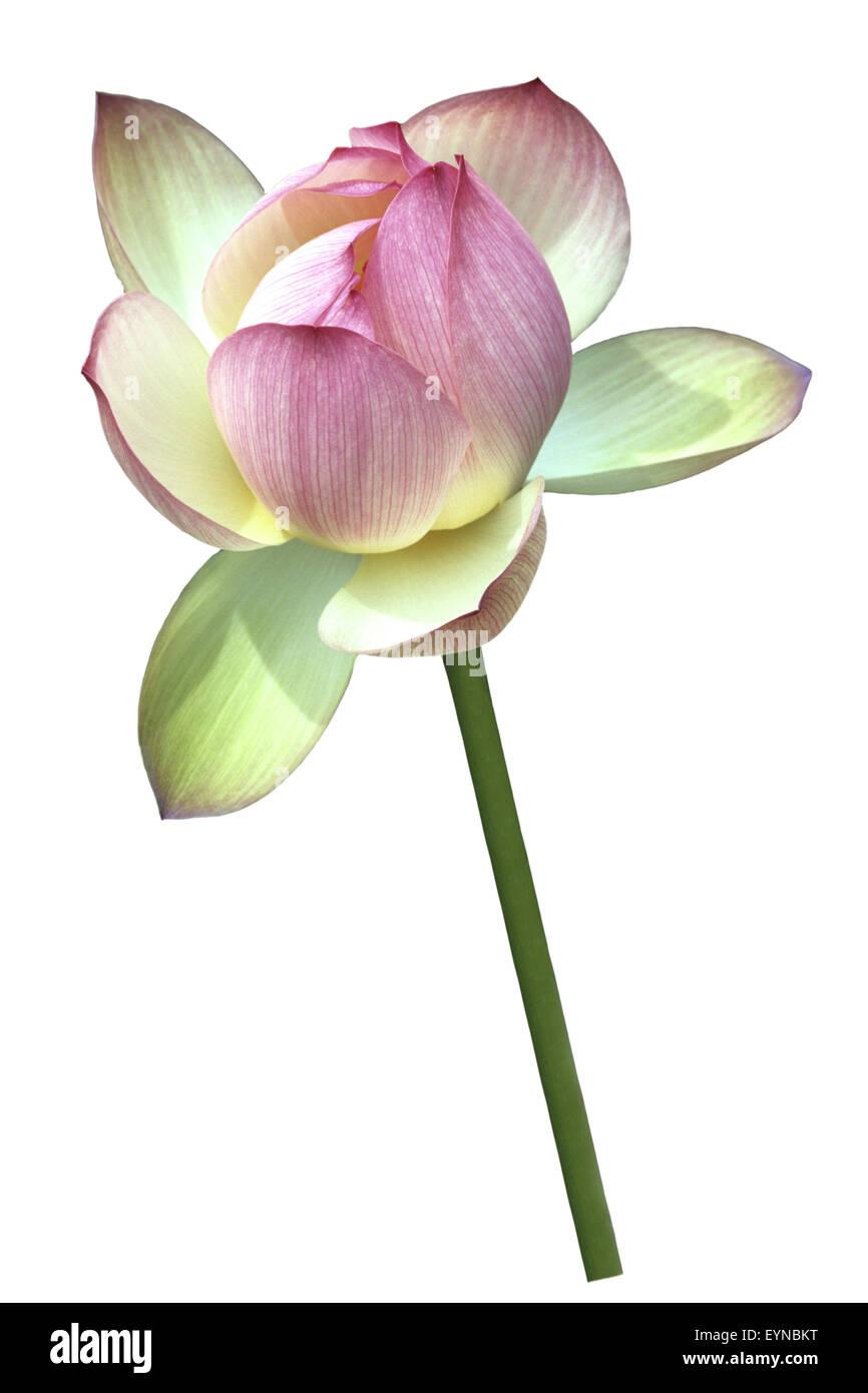 Lotosblume; Lotusblumen; Lotus nucifera; - Stock Image
