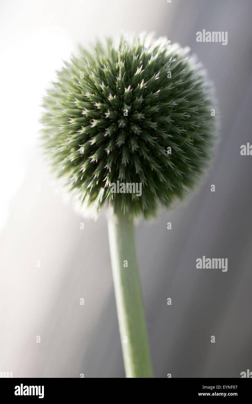 Globe Thistle Flower - Stock Image