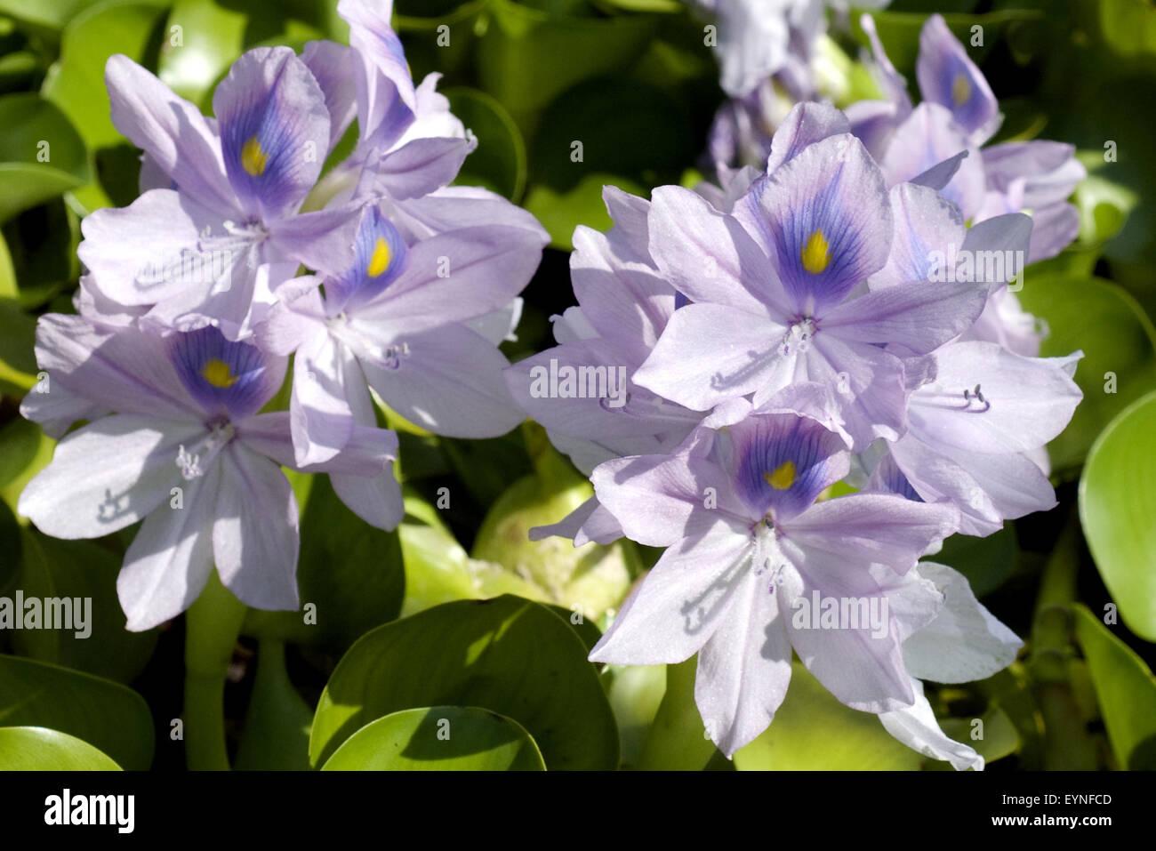 Wasserhyazinthe, Eichhornia crassipes, tropische Gewaesser, Wasserpflanzen - Stock Image