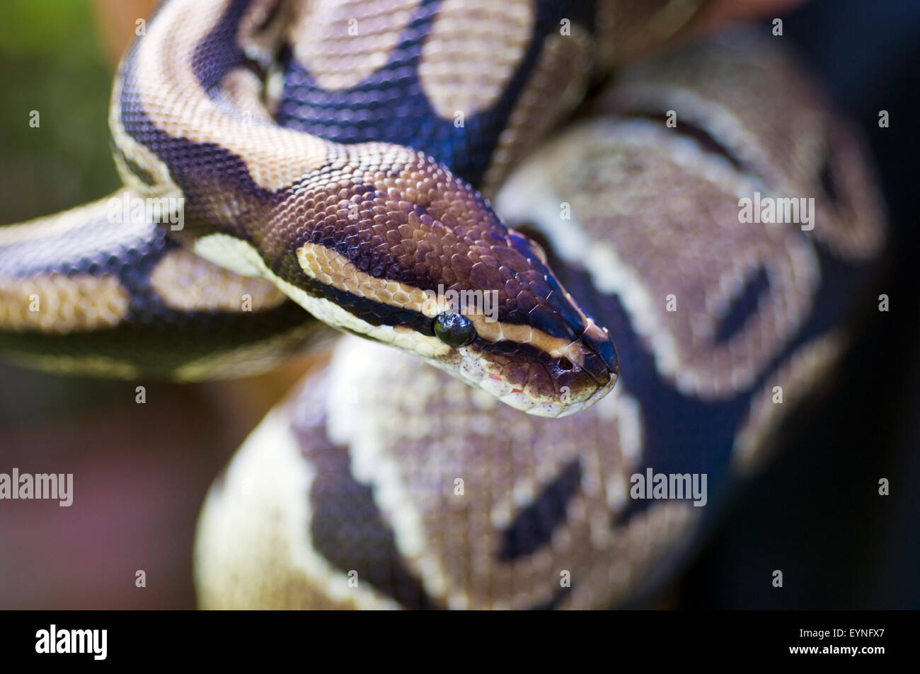 Close-up image of the head and body of an adult royal python, python regius. This is a captive animal. - Stock Image