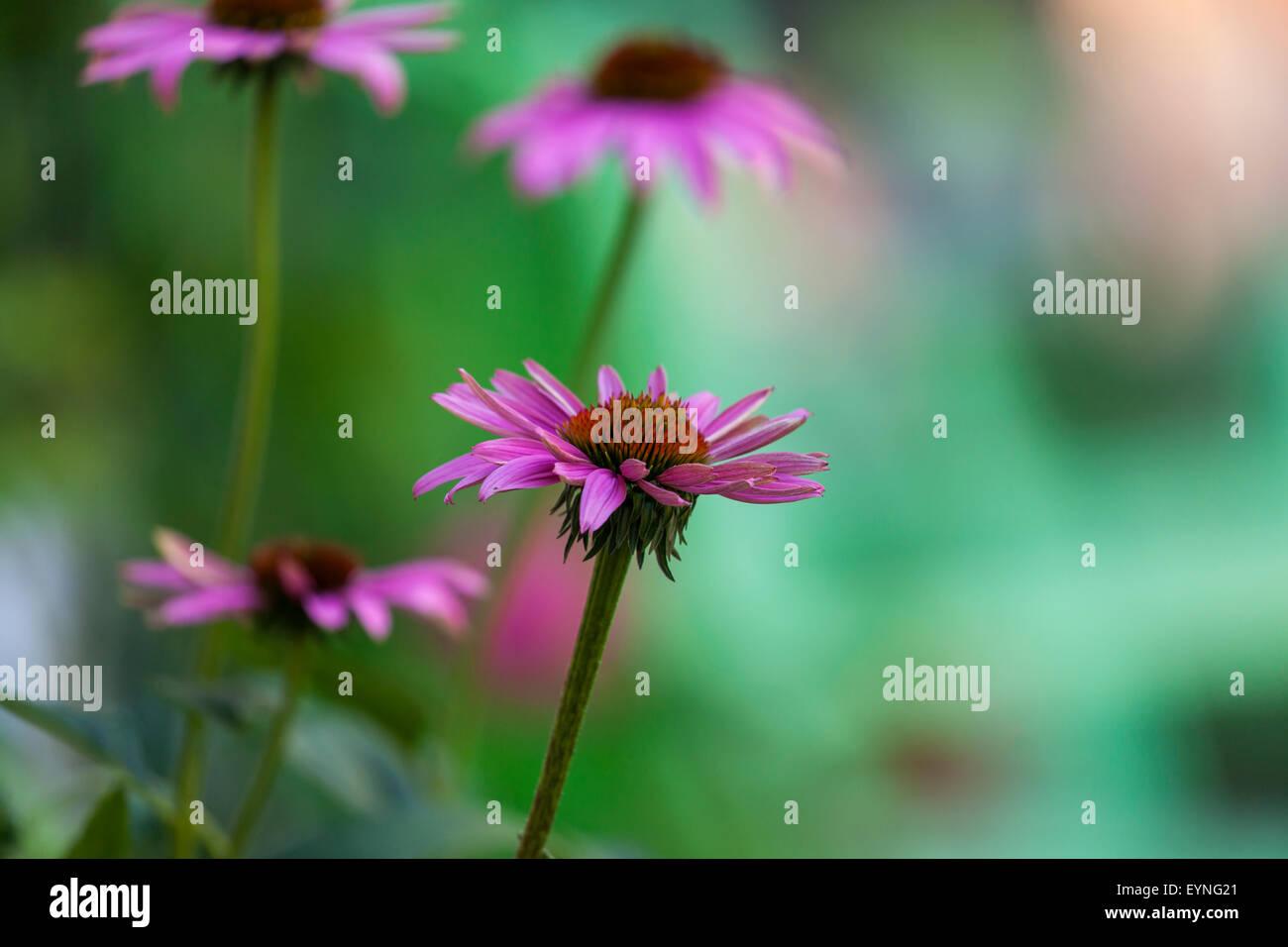 Echinacea purpurea blooming,eastern purple coneflower,purple coneflower - Stock Image
