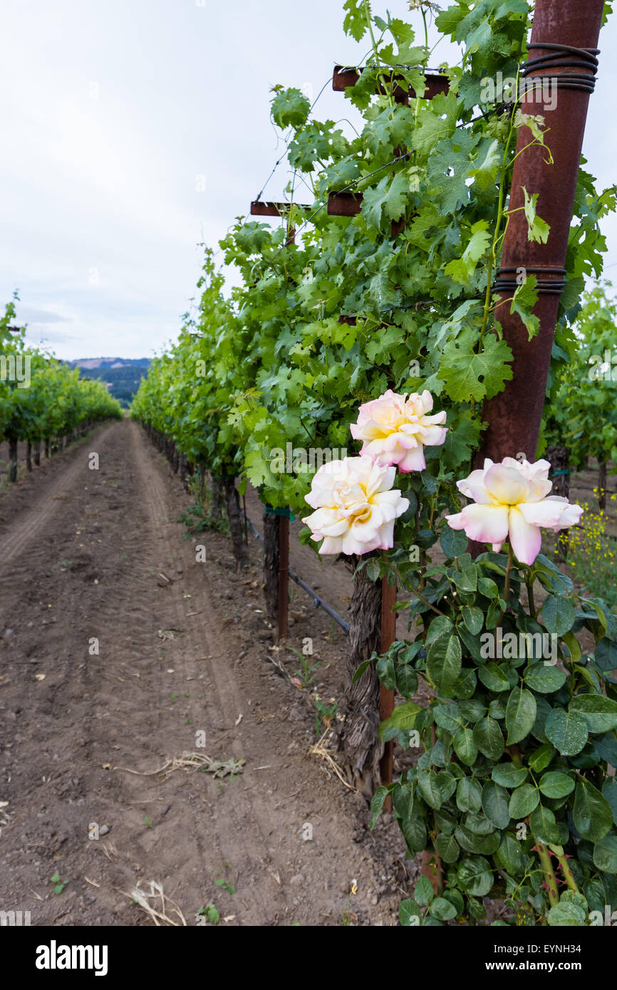spring green grape vines in clean rows decorated with roses at the ends Stock Photo