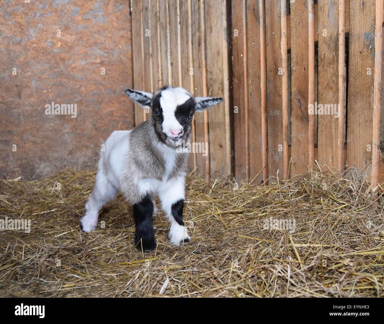 Pet Pygmy goat kid at three days old on an English farm. - Stock Image