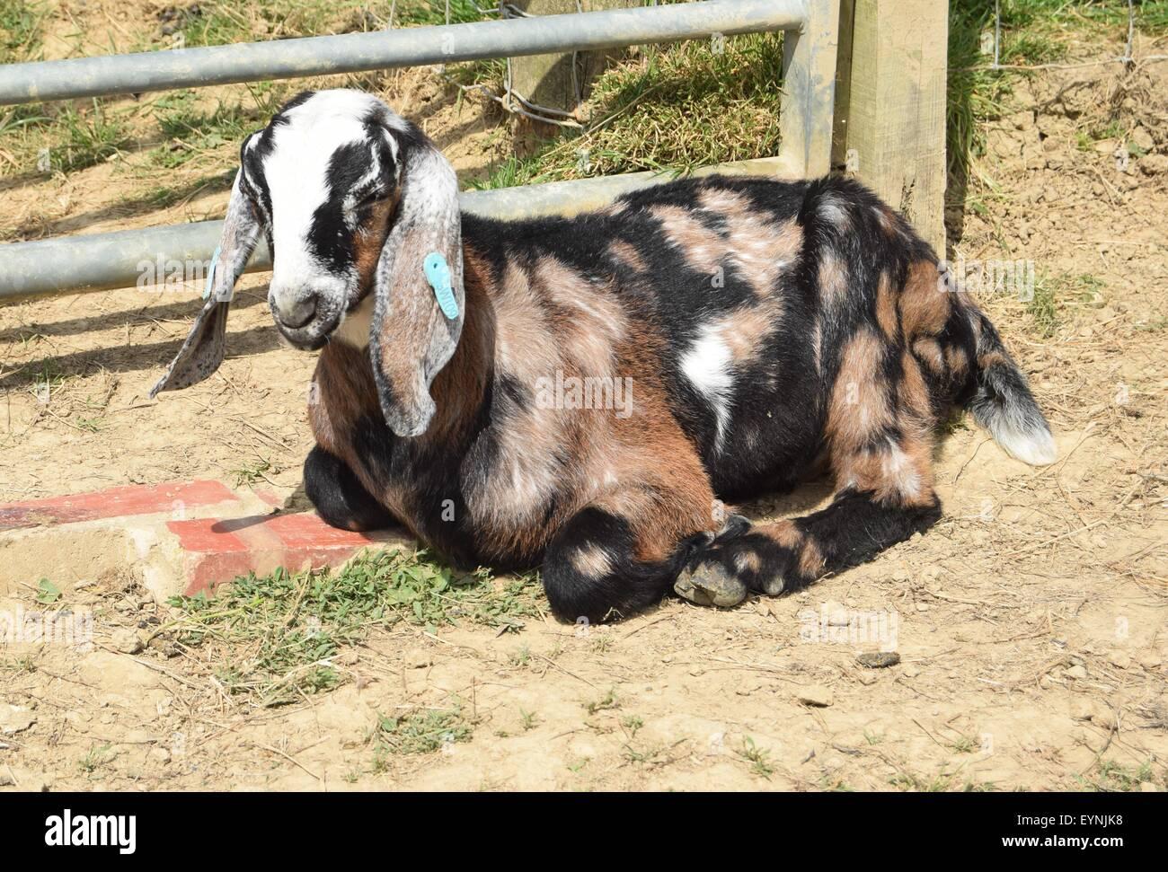 Our six week old pedigree Anglo Nubian goat buck kid sunbathing. Spotty goats - Stock Image
