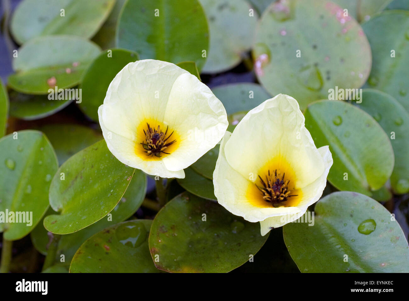 Wassermohn, Hydrocleys nymphoides, Wasserpflanzen - Stock Image