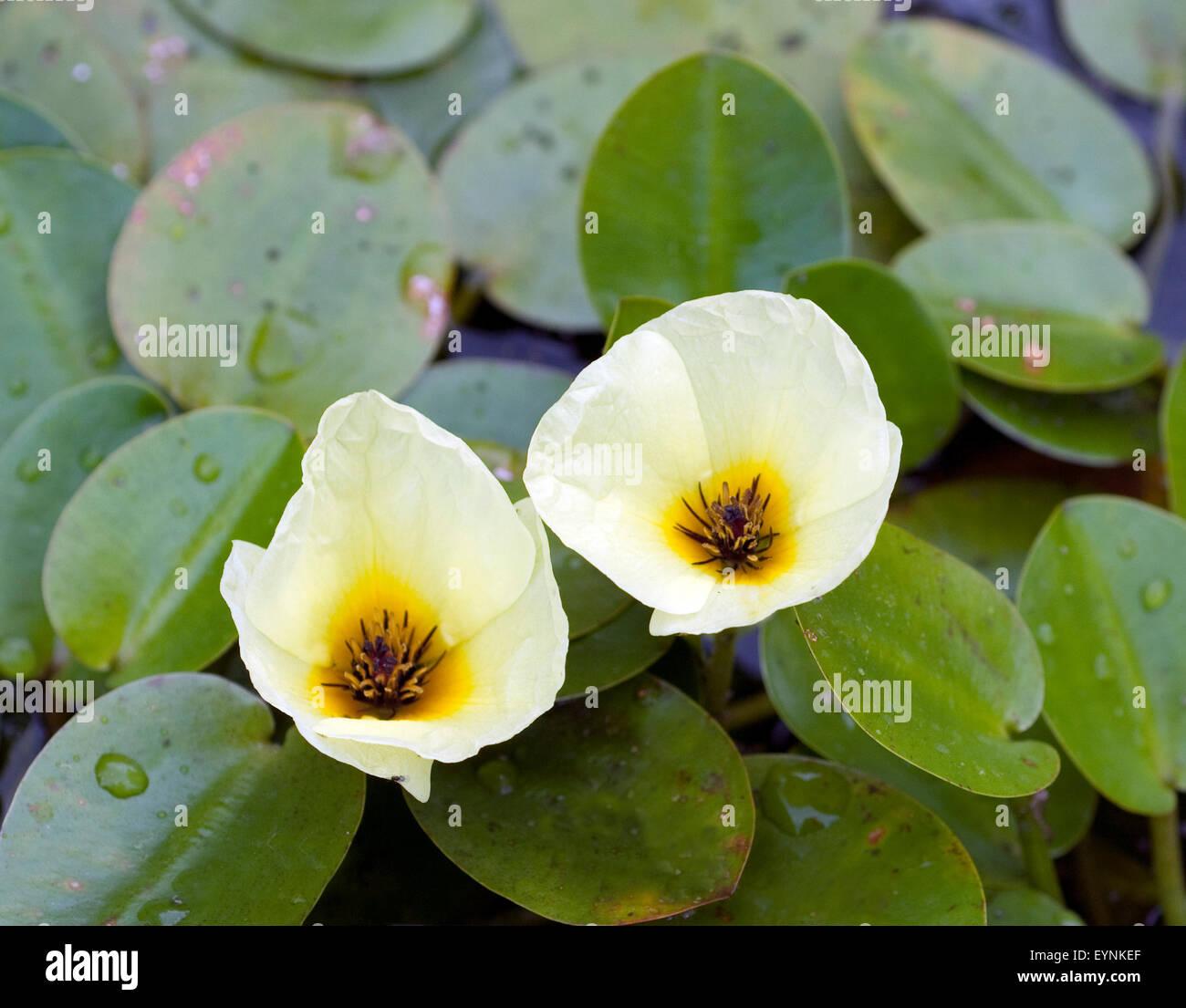 Wassermohn; Hydrocleys, nymphoides; - Stock Image