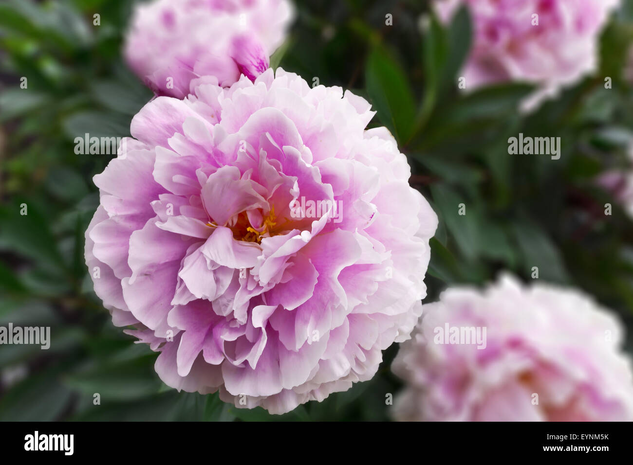 Large pink peony flowering plant in a garden with blurry background. Stock Photo