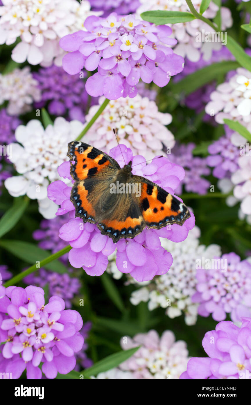 Small tortoiseshell butterfly (Aglais Urticae) resting on purple/lilac candytuft flowers (Iberis) - Stock Image