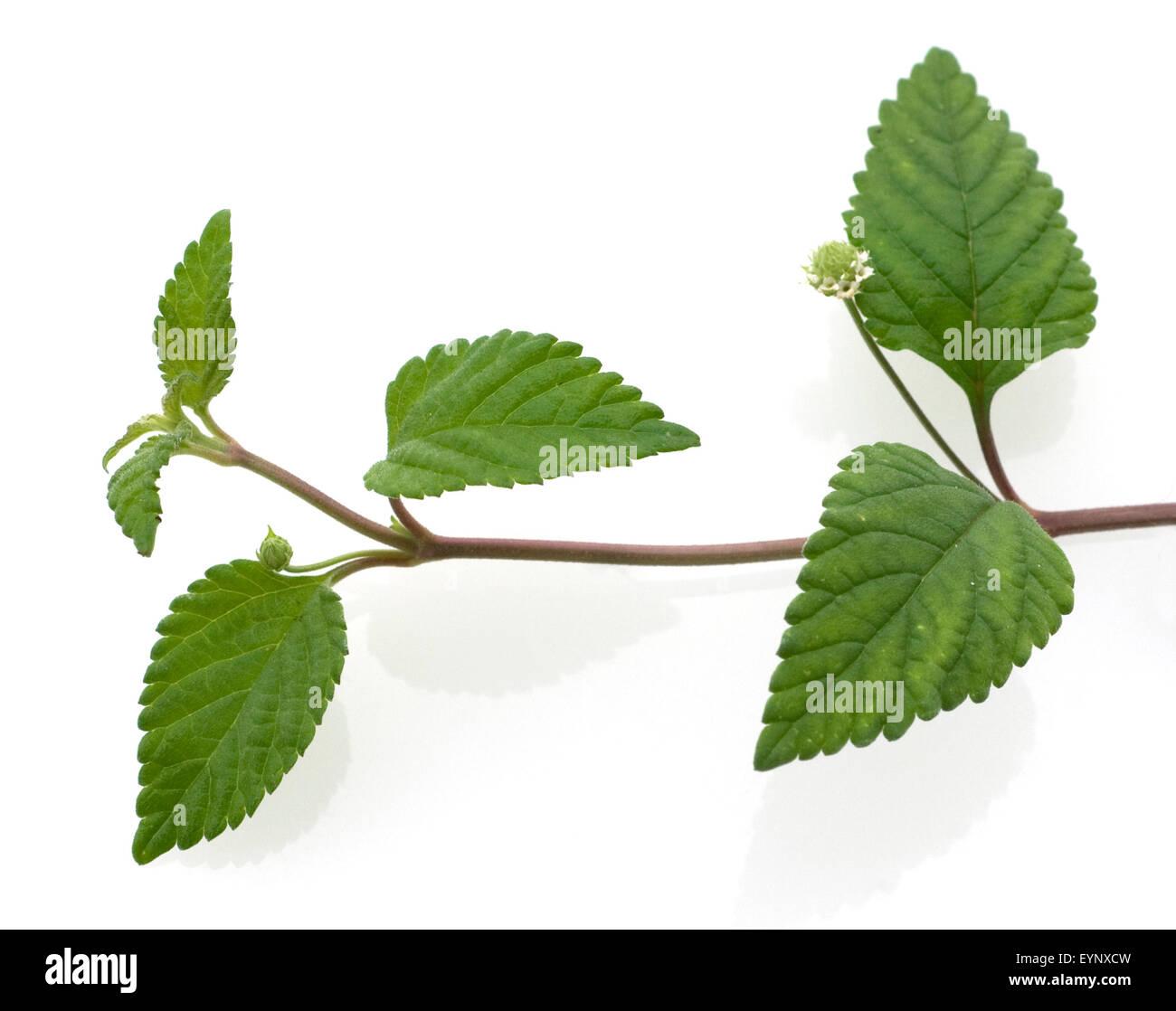 Aztekisches Suesskraut, Lippia dulcis, Stock Photo