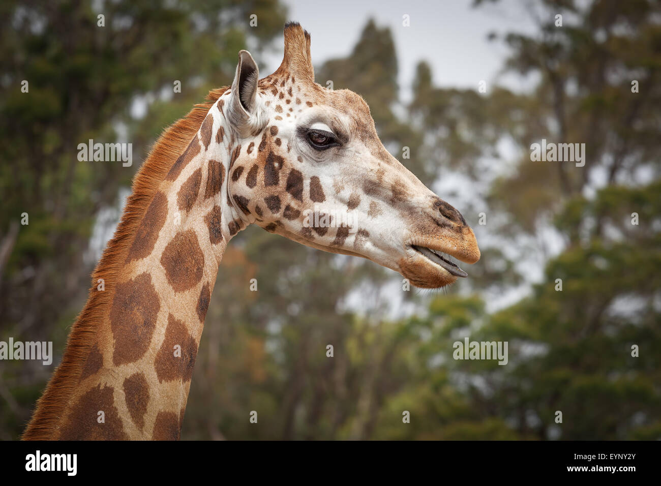 Closeup portrait of Giraffe with its tongue out - Stock Image