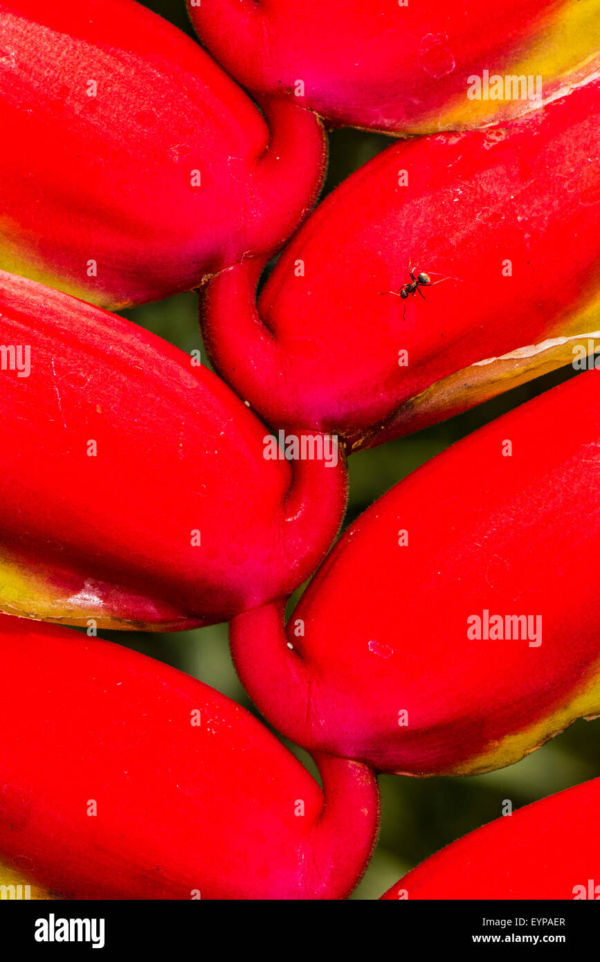 Close up of the False Bird of Paradise flower - Stock Image