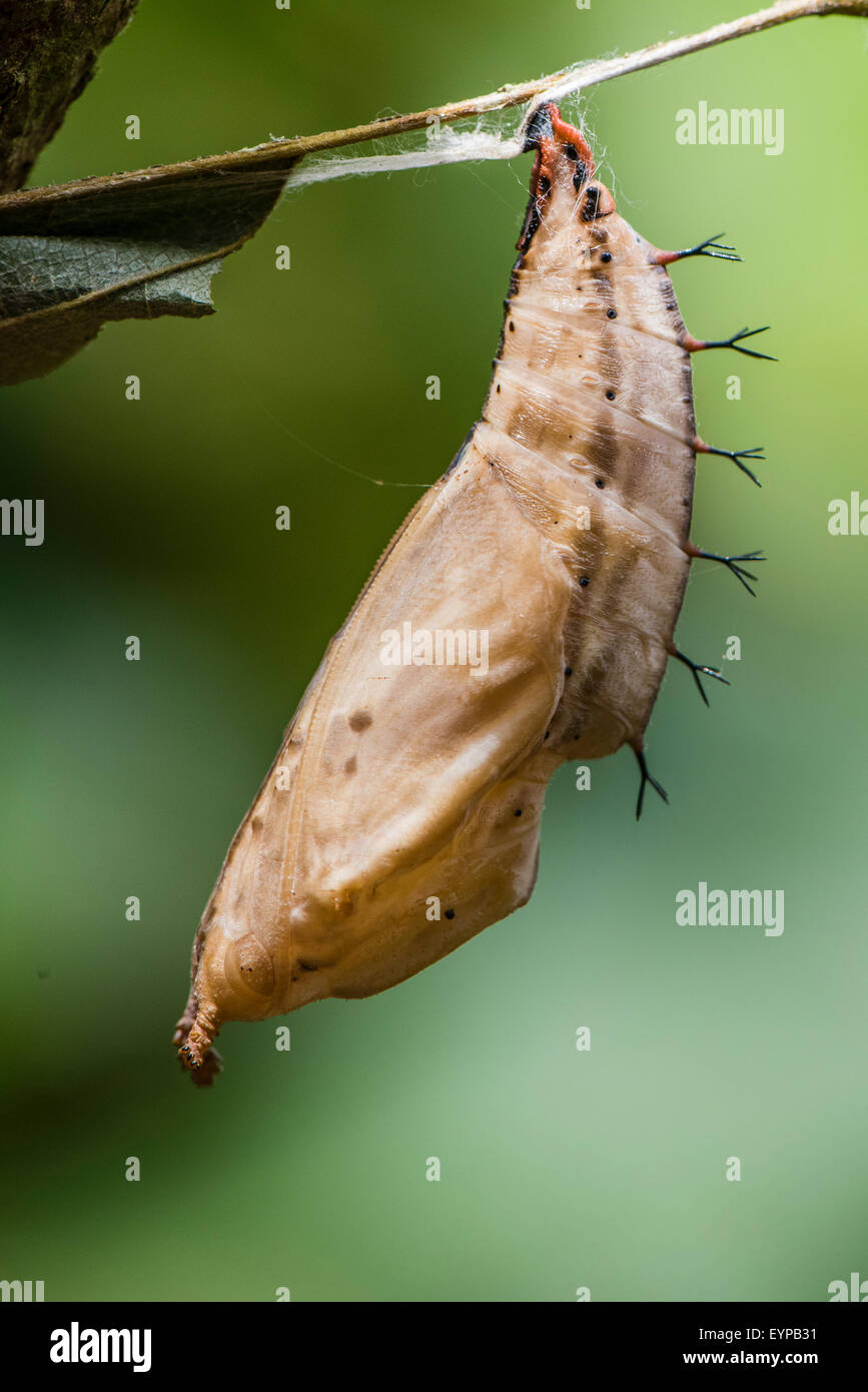 A pupa of the Dashwing butterfly - Stock Image