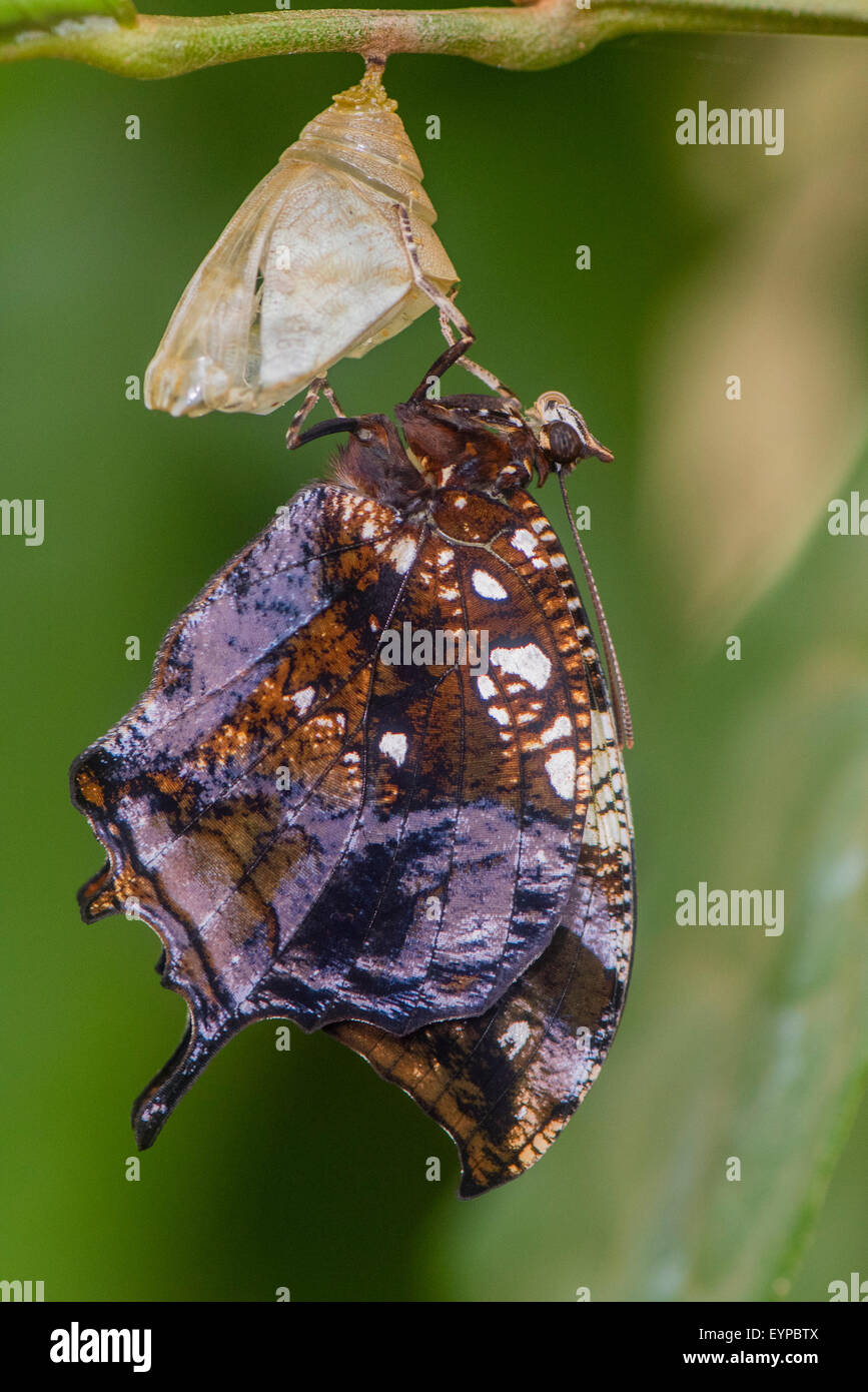 A Marbled Leafwing butterfly emerging from its pupa case - Stock Image