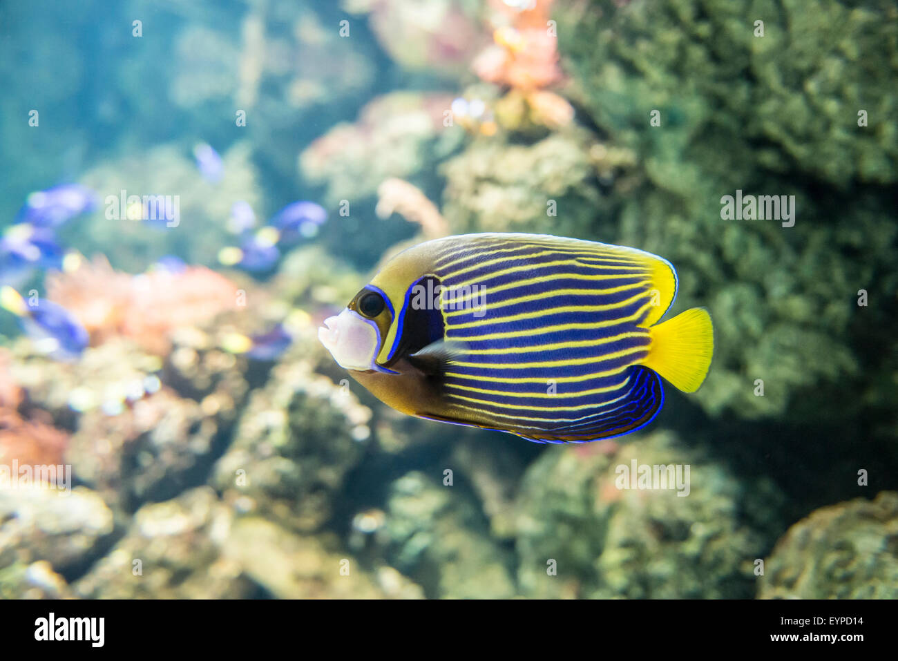 Pomacanthus imperator is a typical fish of Pacific and Atlantic Ocean, when he grows up he has particular blue and - Stock Image