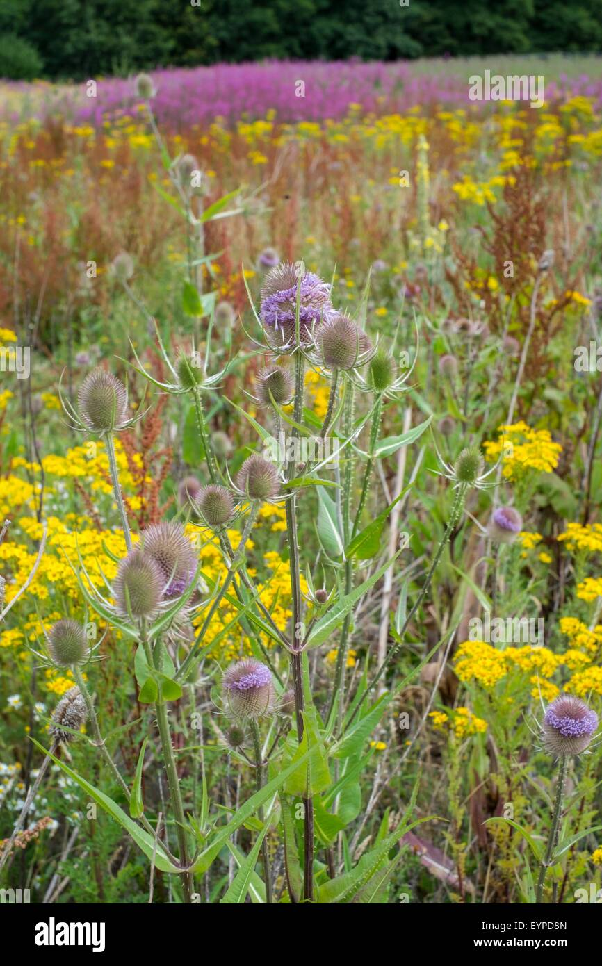 Wasteland on industrial estate with wildflowers including Ragwort - Senecio jacobaea, Teasel - Dipsacus fullonum, - Stock Image