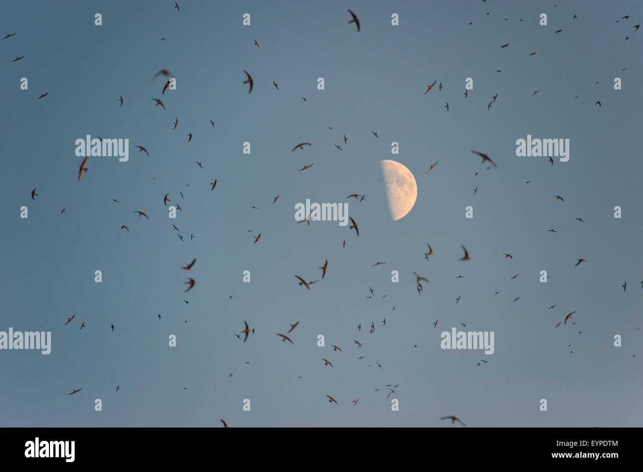 A huge flock of swallows under a bright moon Stock Photo