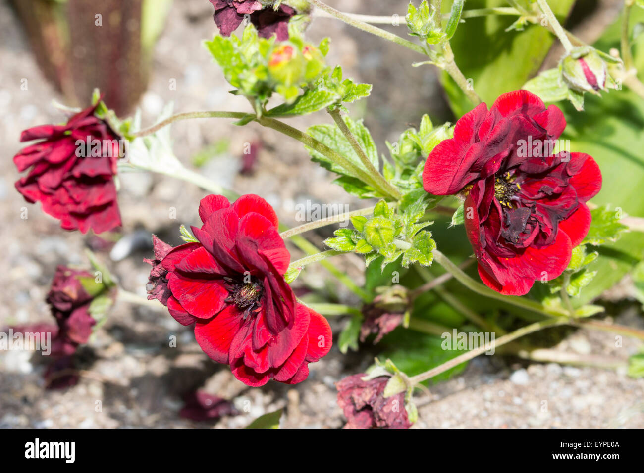 Double flowers of the low growing perennial, Potentilla x cultorum 'Volcan' - Stock Image