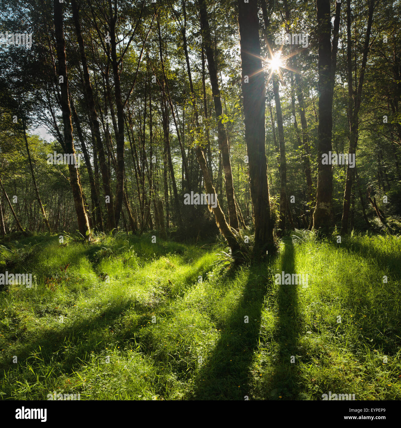 Sun shines through forest along the Quinault River in Olympic National Park, Washington - Stock Image