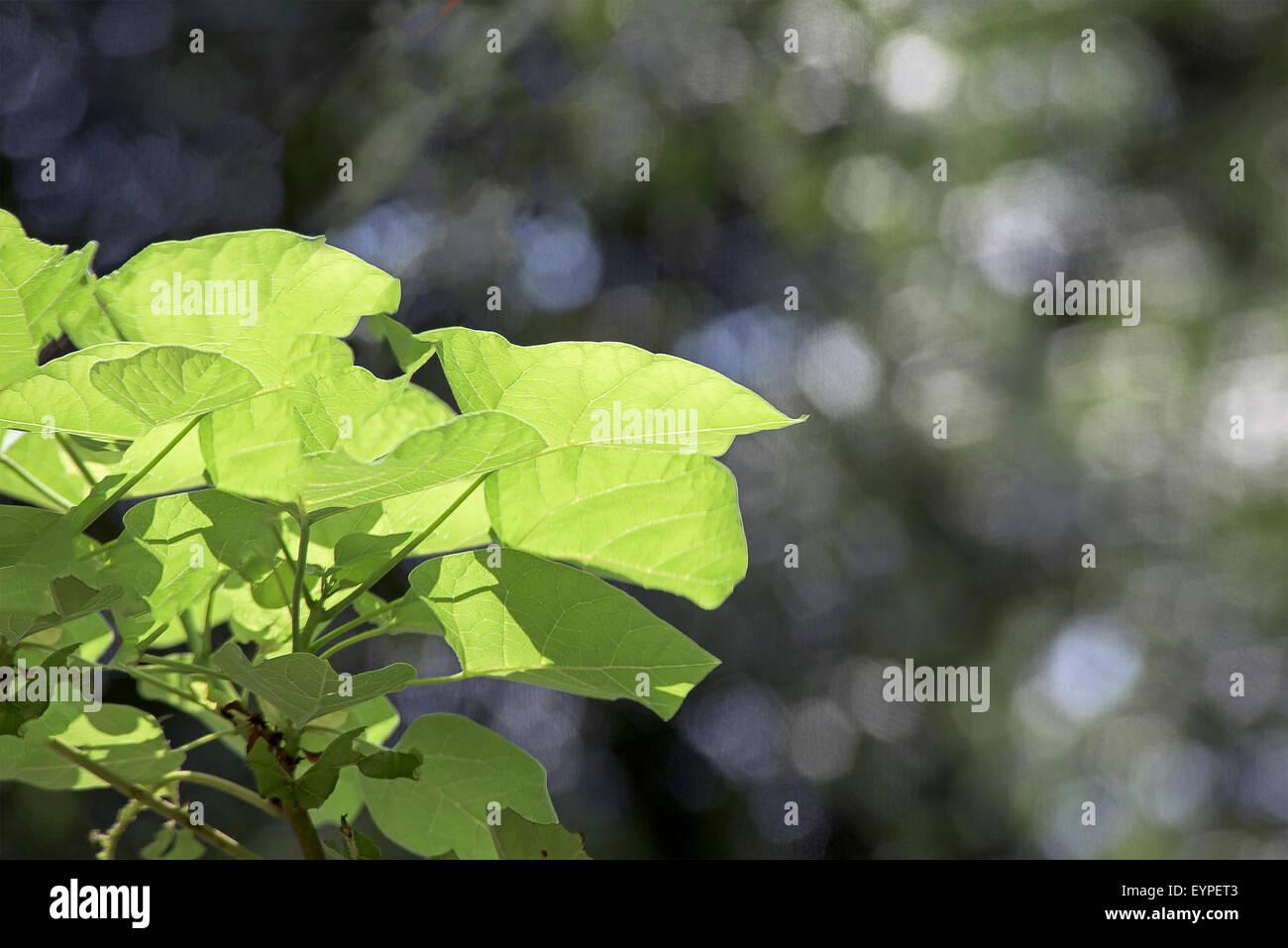 Sun shining through the leaves - Stock Image