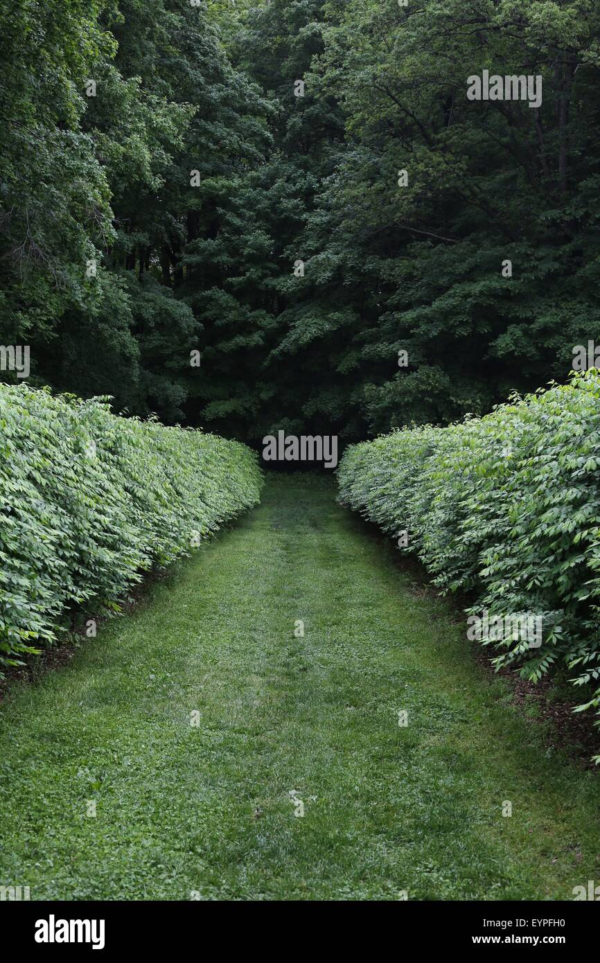 Two hedges leading into a dark forest. - Stock Image