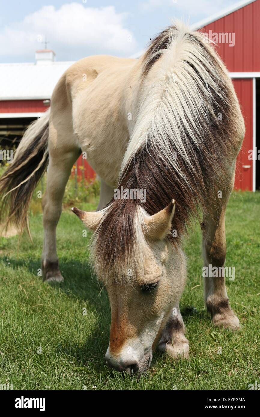 A draft horse grazing on green grass. - Stock Image