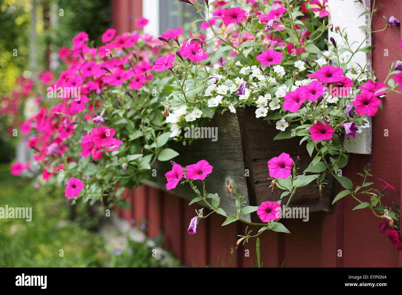 Pink petunias growing in a window box on a house. - Stock Image