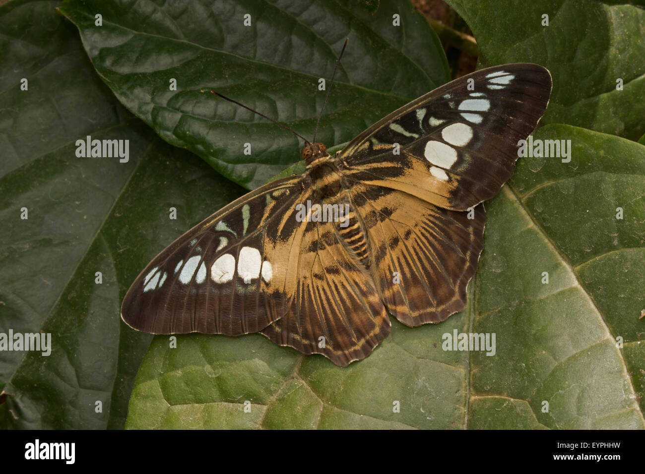 Clipper (Parthenos sylvia) (Brown clipper), nymphalid butterfly found in South and South-East Asia, mostly in forested - Stock Image