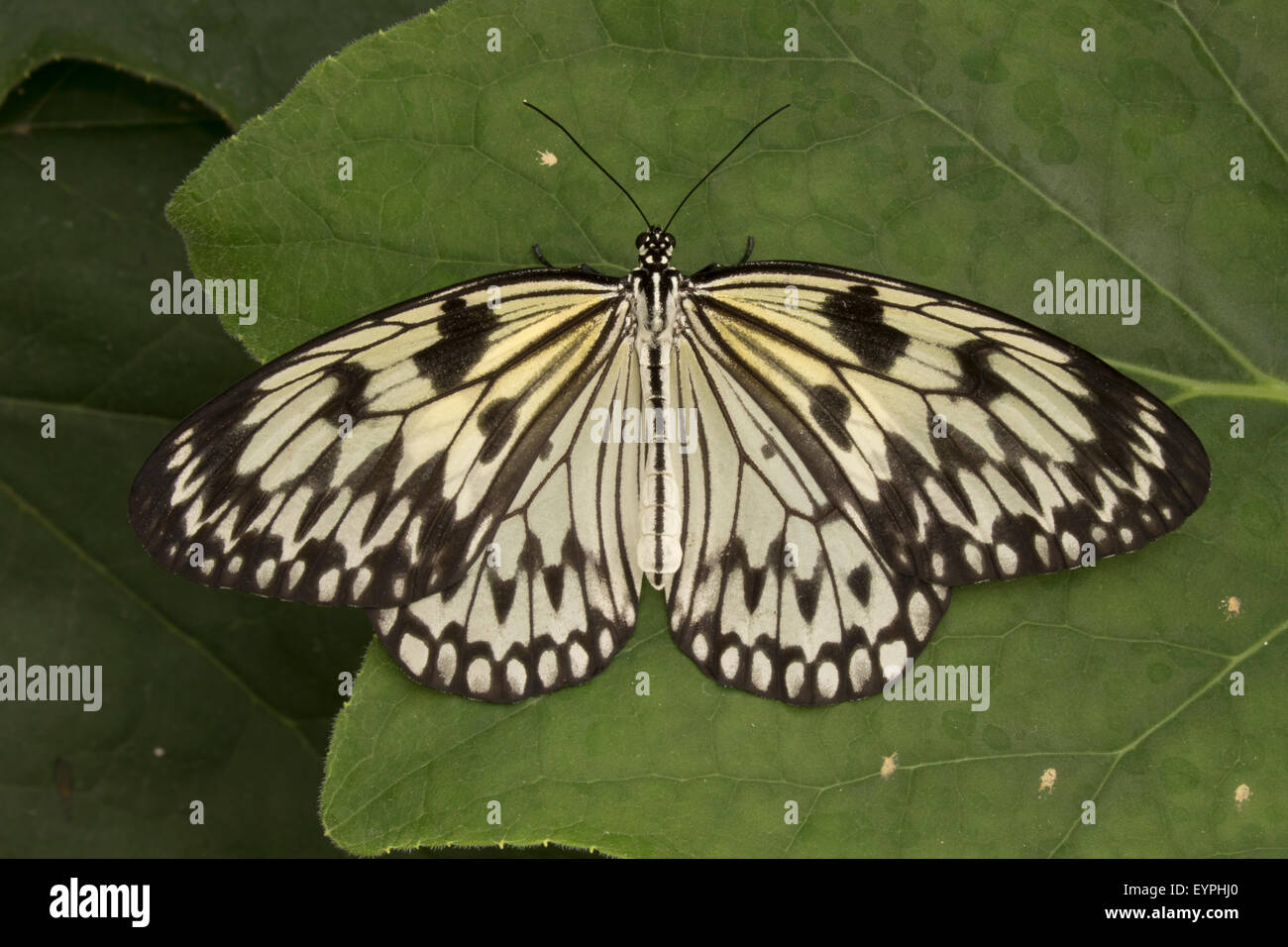 paper kite, rice paper, or large tree nymph butterfly (Idea leuconoe) native to Asia, captive - Stock Image