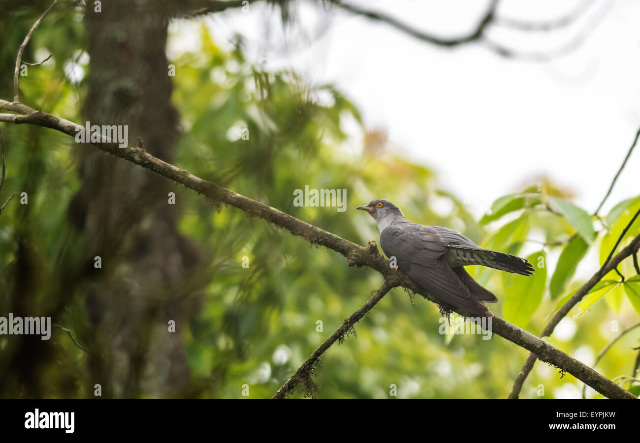 Eurasian cuckoo, Cuculus canorus, perched on a tree branch with copy space - Stock Image