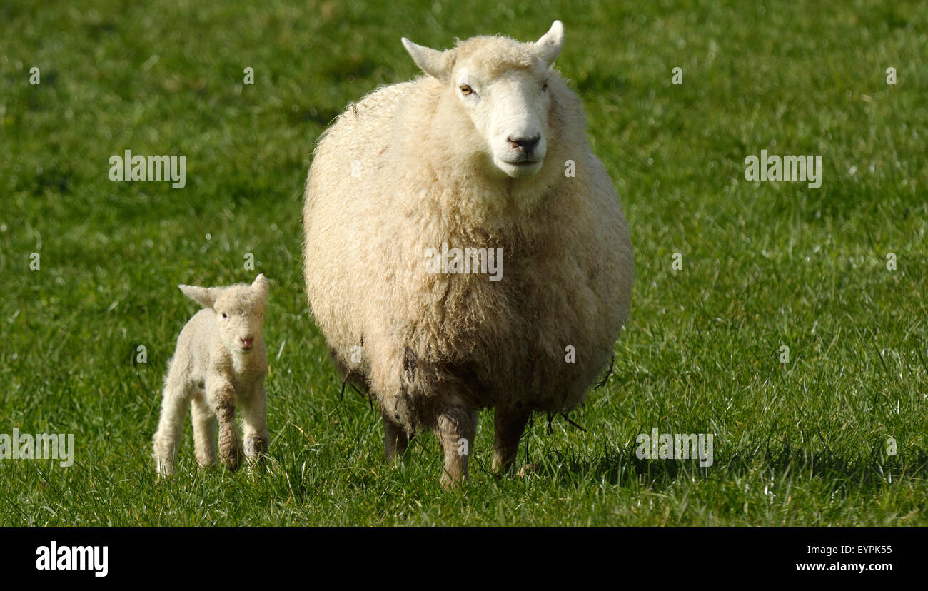 Mother sheep and her lamb looks at the camera in a sheep farm station in New Zealand. copy space Stock Photo
