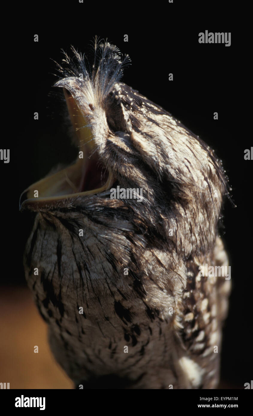 The Tawny frogmouth (Podargus strigoides) is a species of frogmouth native to and found throughout the Australian Stock Photo