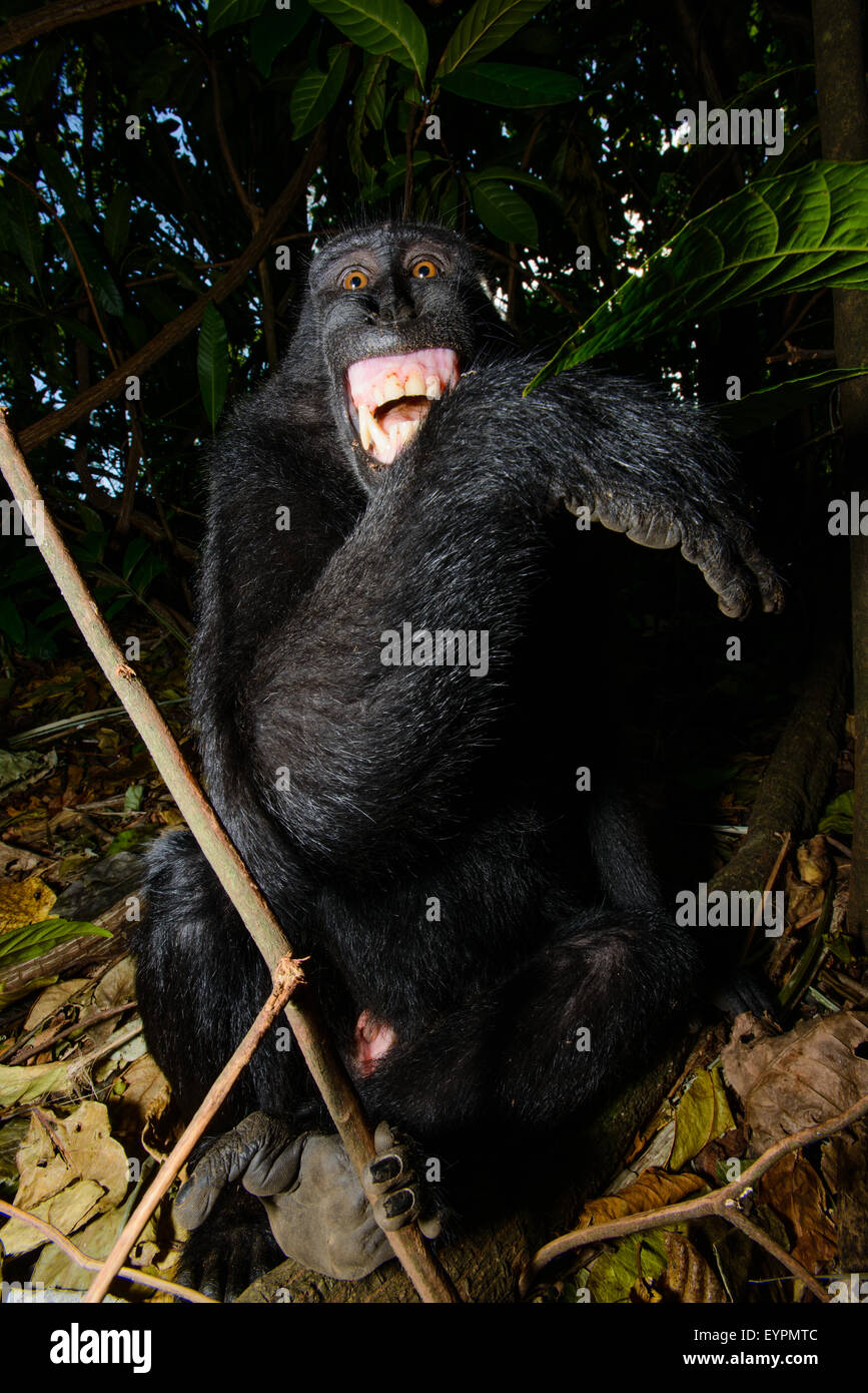 A Celebes black crested macaque from north sulawesi shows its teeth to manifest that it is uncomfortable - Stock Image