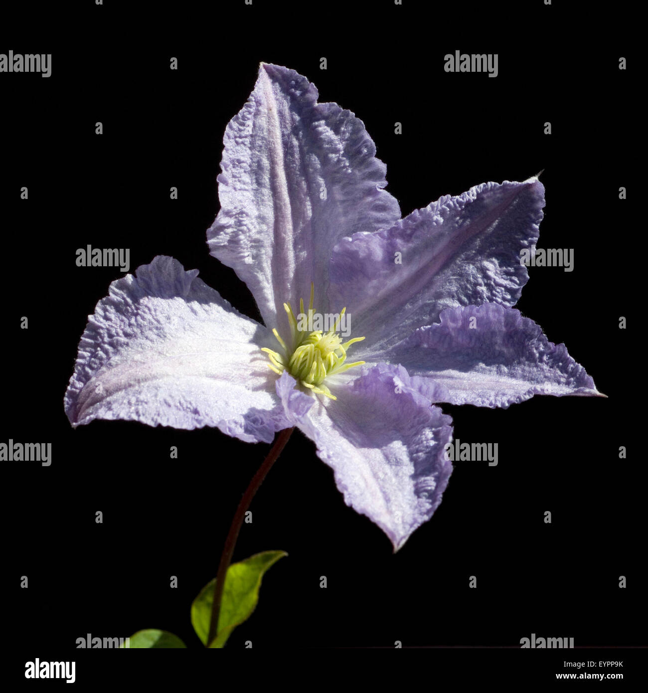Clematis viticella, Blue, Angel, - Stock Image