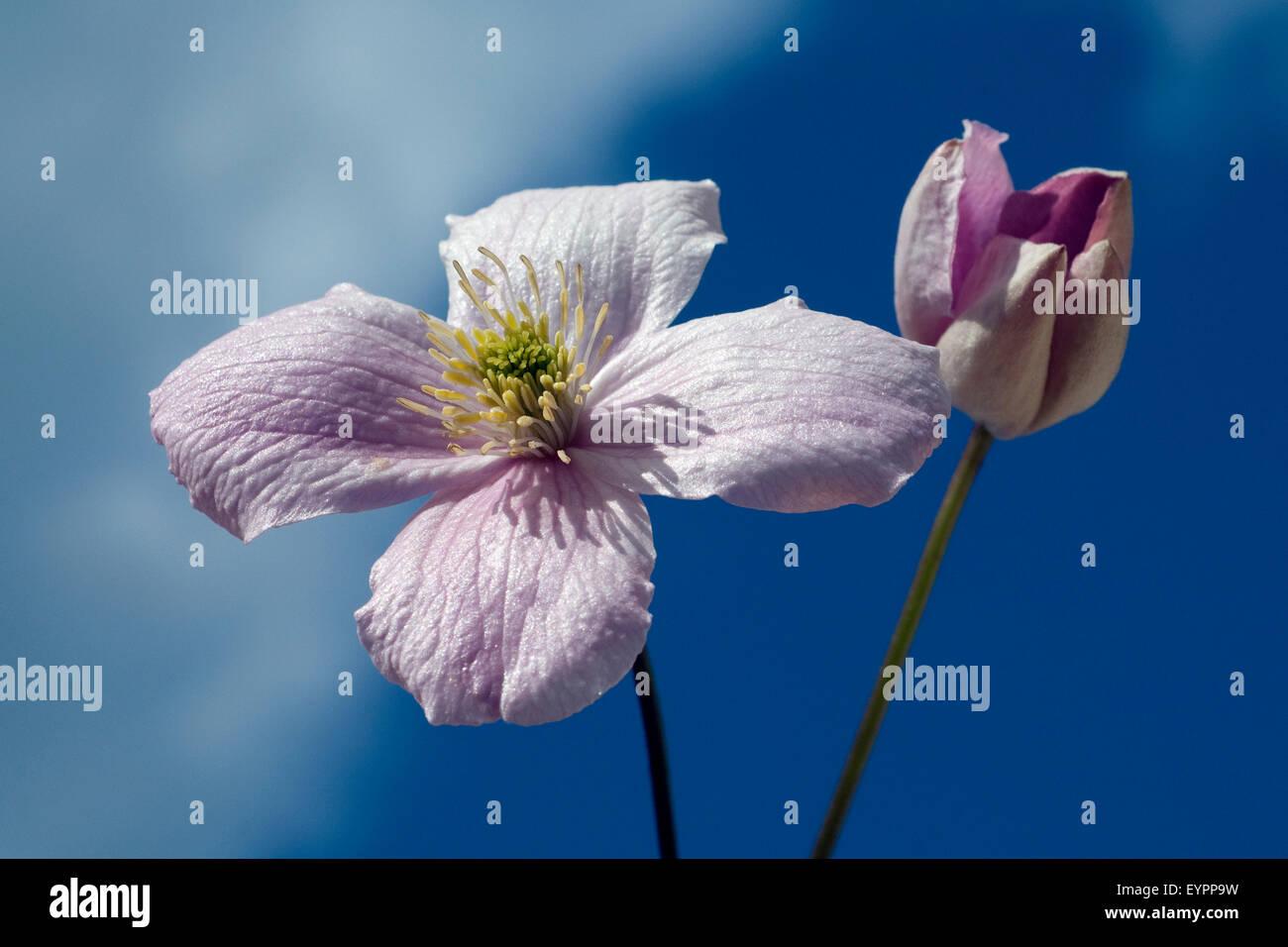 Clematis; montana, Stock Photo