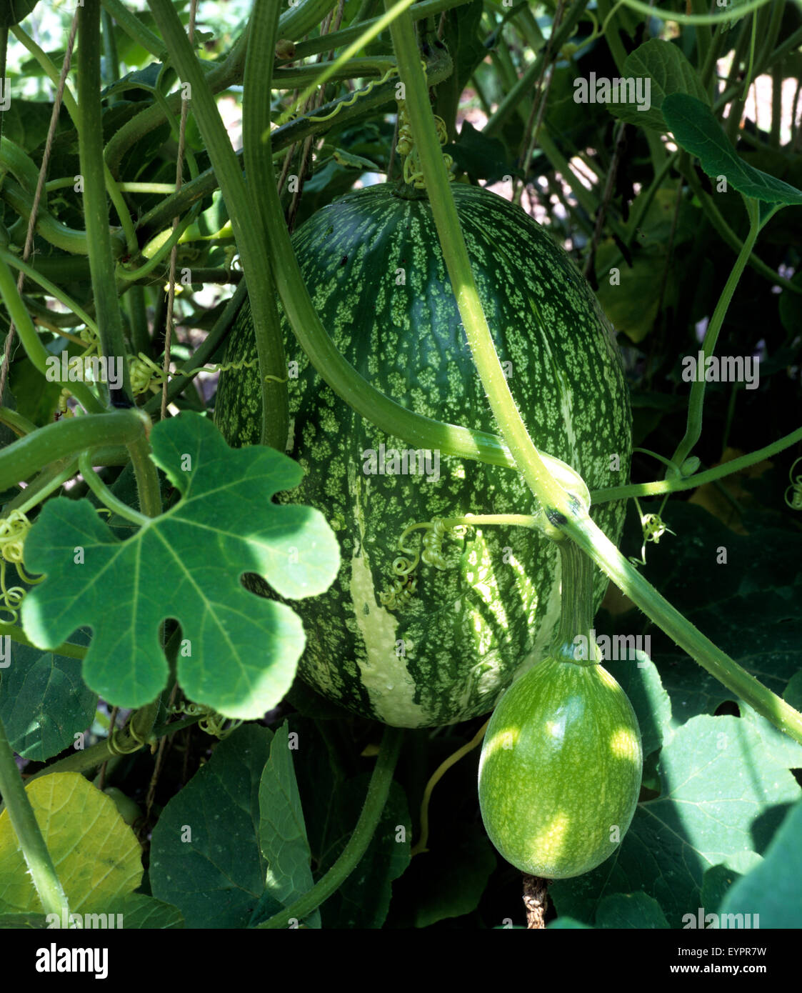 Vegetables Creeper Creepers Climbing Plant Stock Photos
