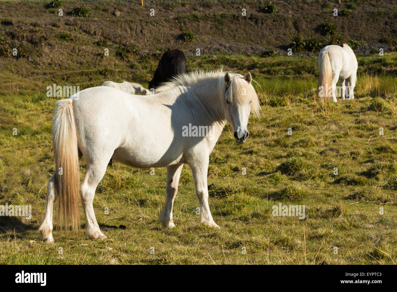 single horse on meadow in Iceland Stock Photo