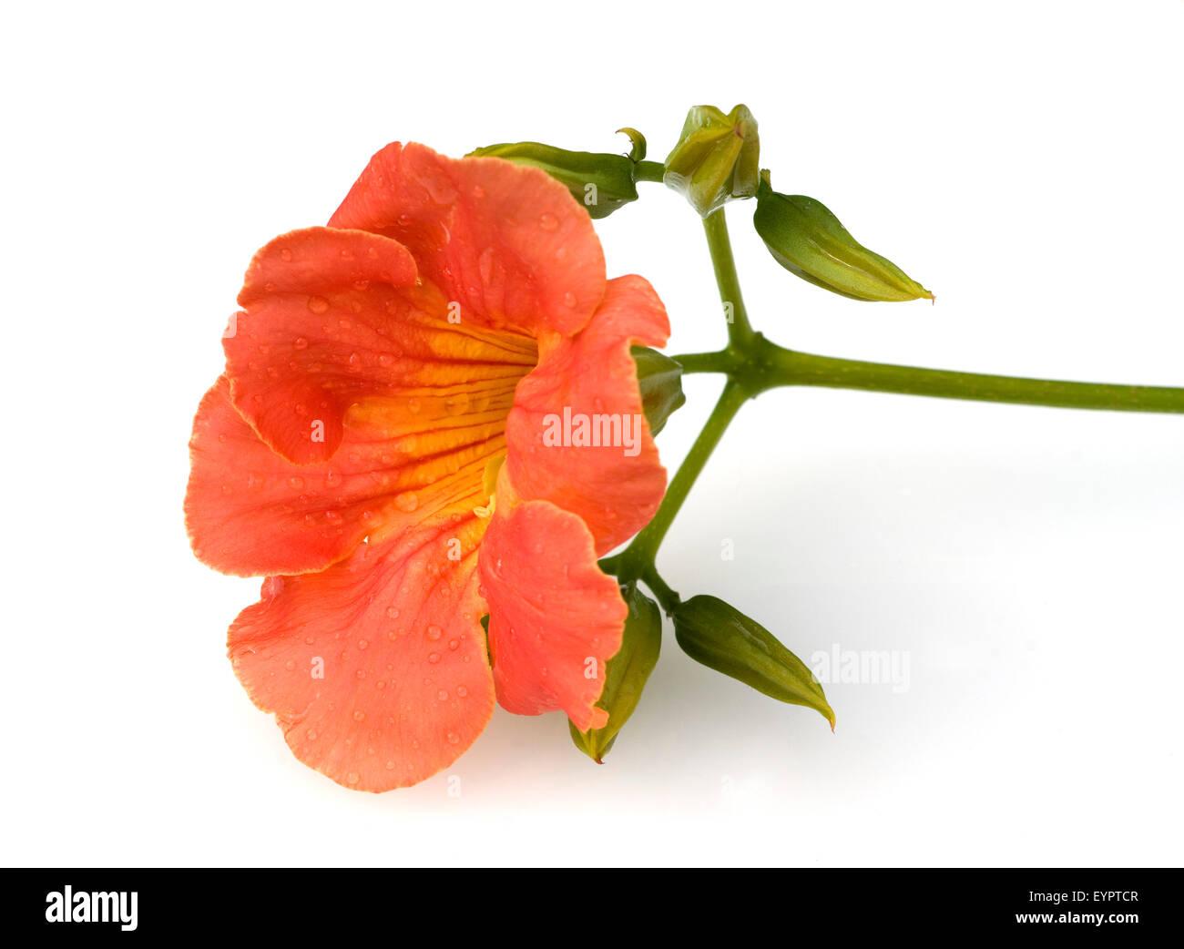 Trompetenwinde, Trompetenblume, Campsis radicans, Stock Photo