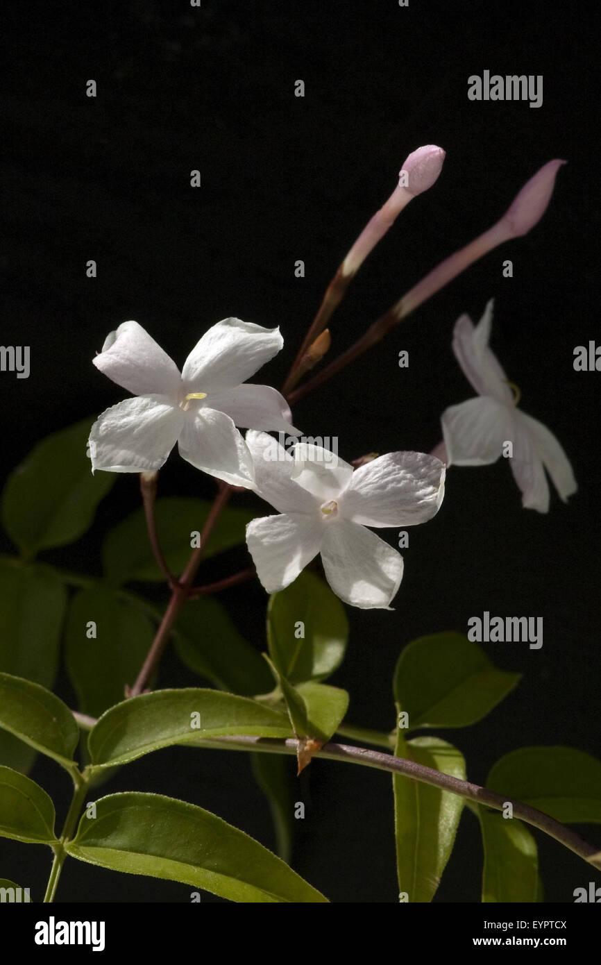 Vielbluetiger Jasmin, Jasminum polyanthum - Stock Image