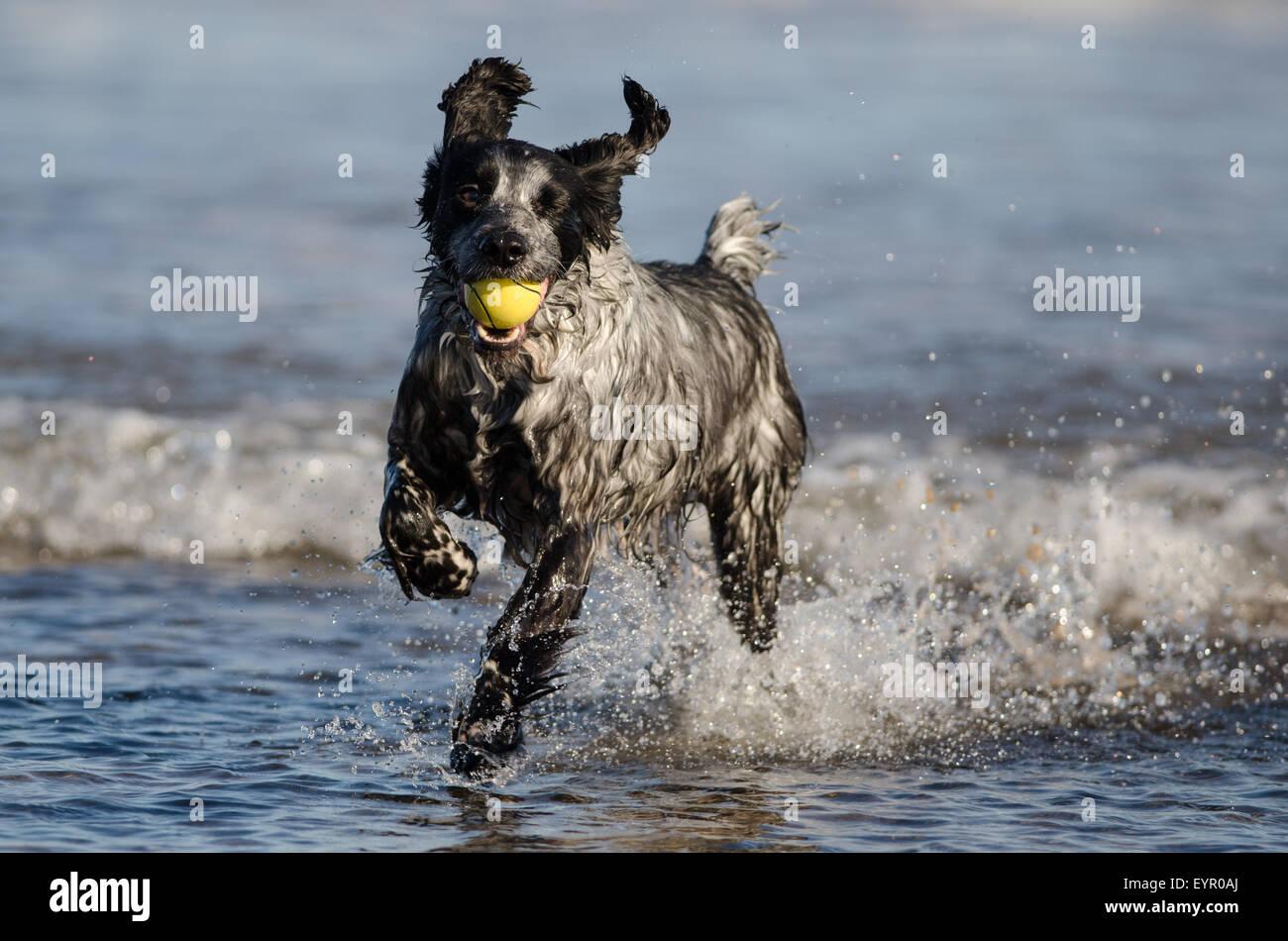 Dog Running Water Beach Play Joy Run Cute Wet Ocean Stock