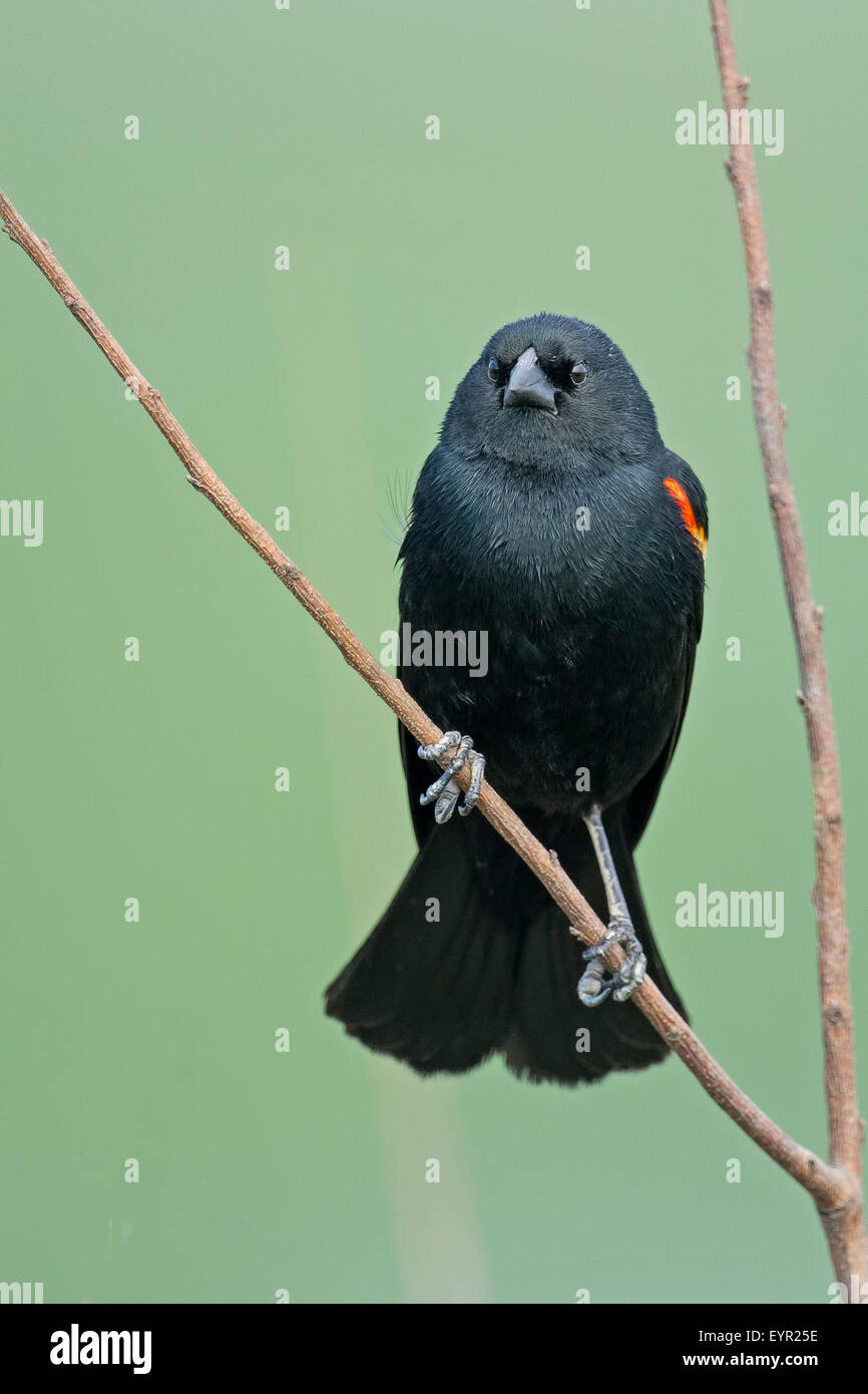 Red-winged Blackbird in tree - Stock Image