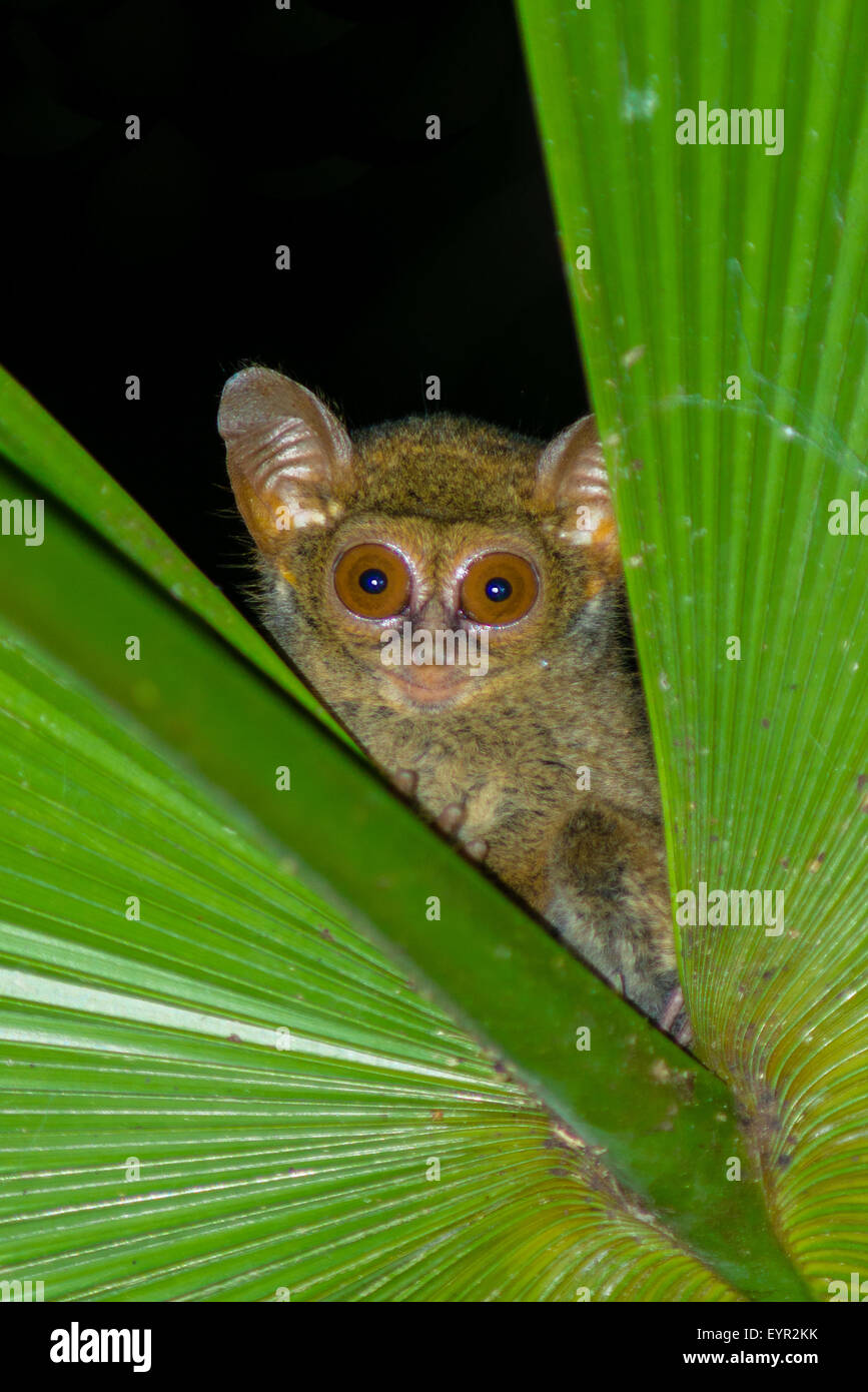 A tarsius from north sulawesi peekaboo from the gap of a palm leaf at night - Stock Image