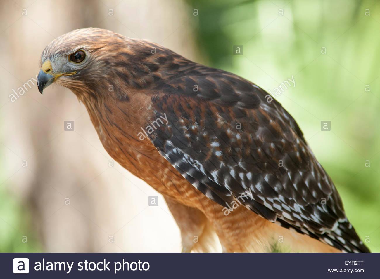 Red-shouldered Hawk, Brevard Zoo, Florida - Stock Image