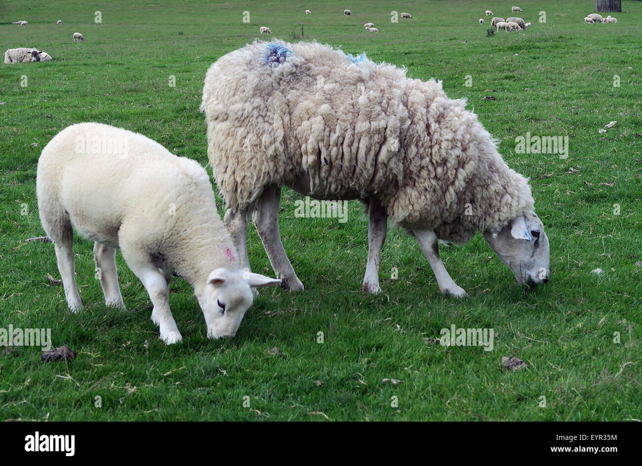 Ewe and lamb grazing in field of sheep. - Stock Image