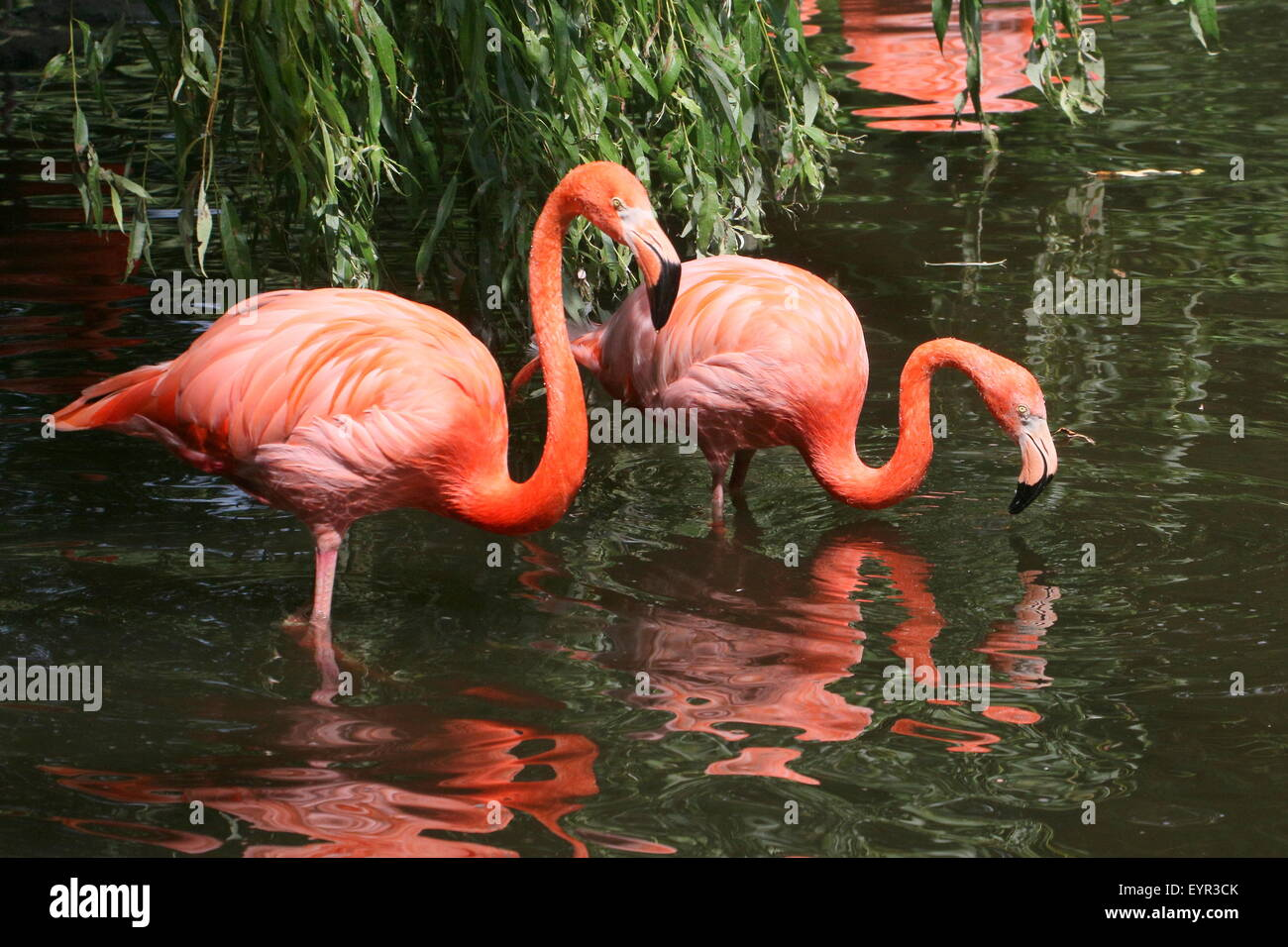 Two American or Caribbean flamingos (Phoenicopterus ruber) foraging in a stream - Stock Image